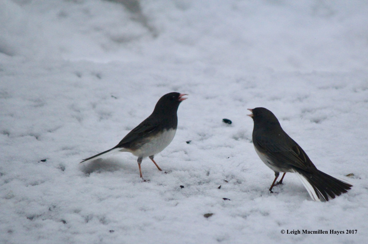 b-junco fight 1a