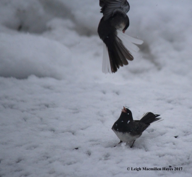 b-junco fight 2