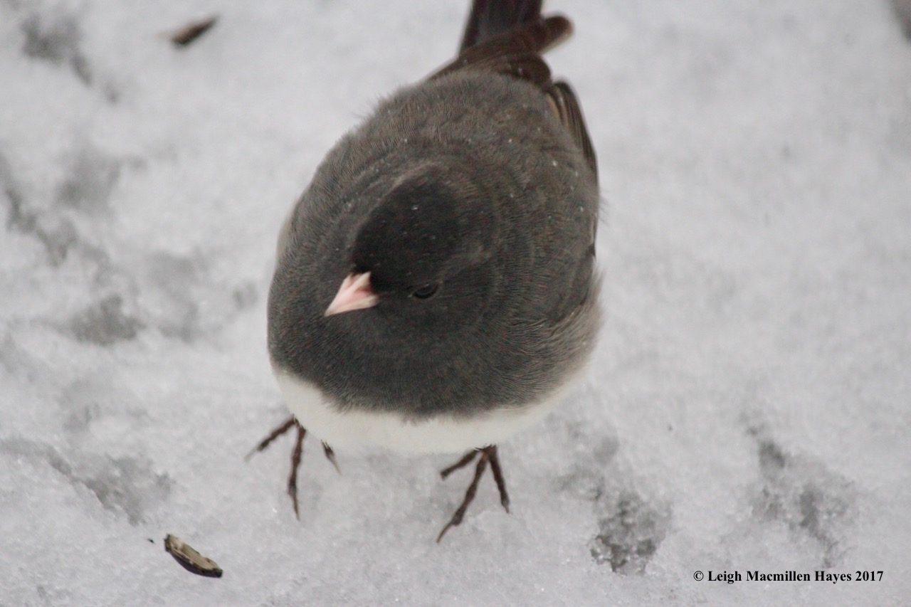 b-junco up close