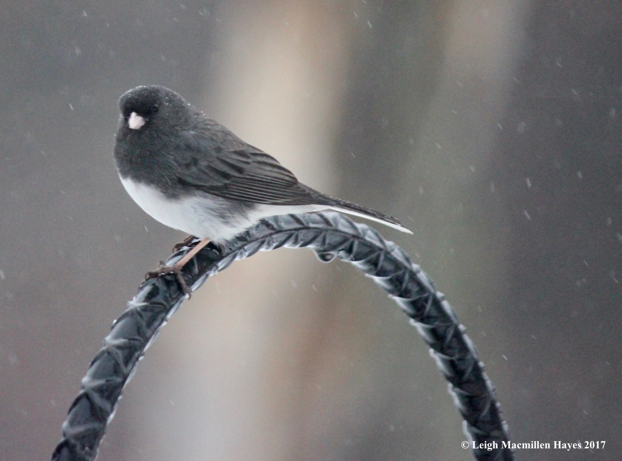 b-junco waiting