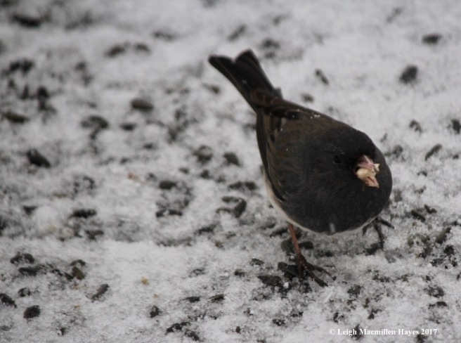 b-junco with peanut