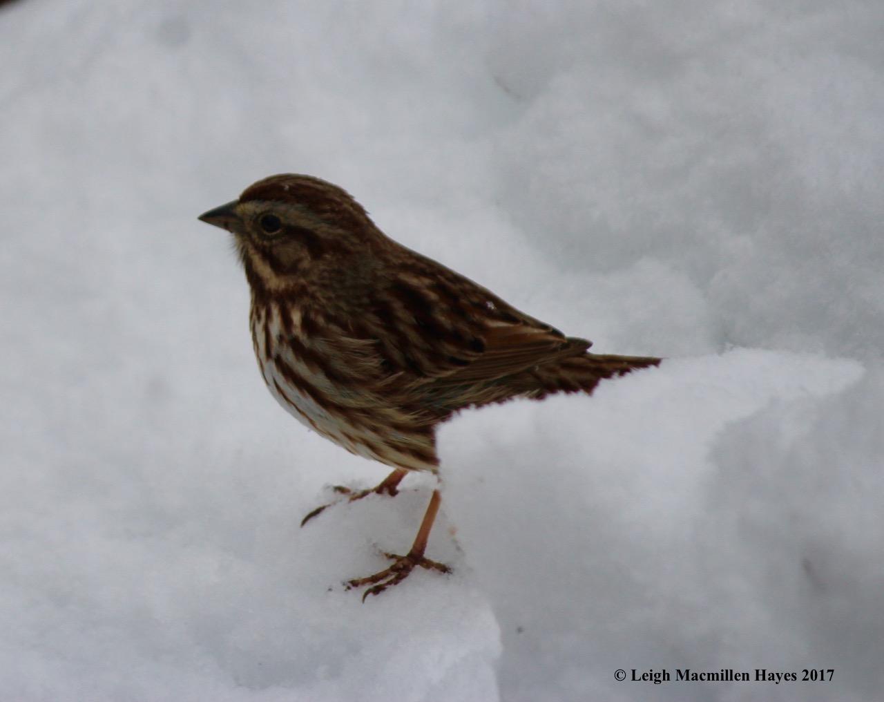 b-song sparrow