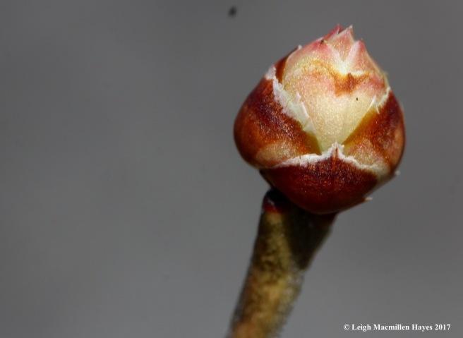 h-blueberry bud