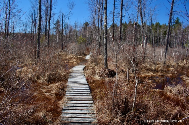 h-Boardwalk through red maple swamp 1