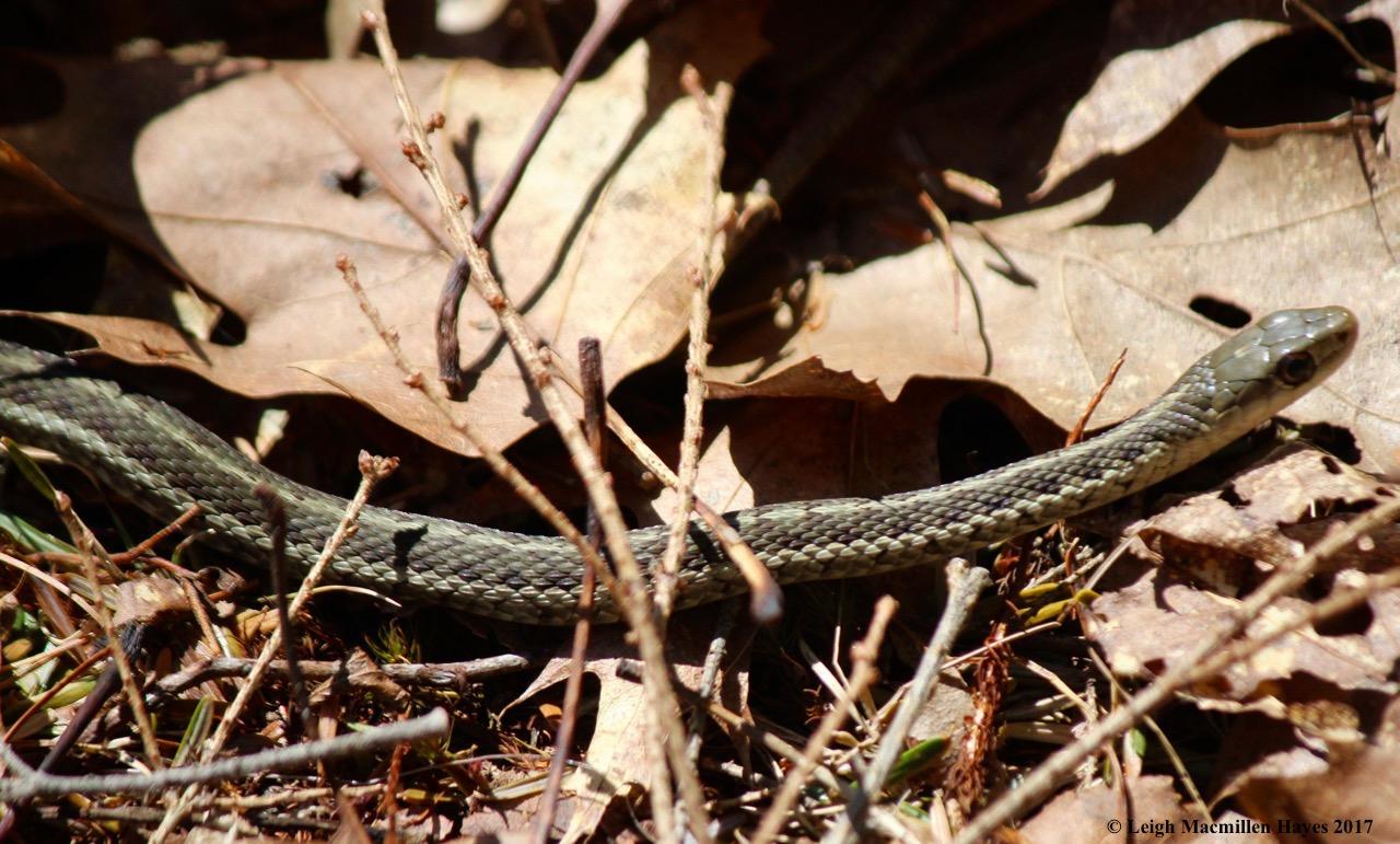h-garter snake 1