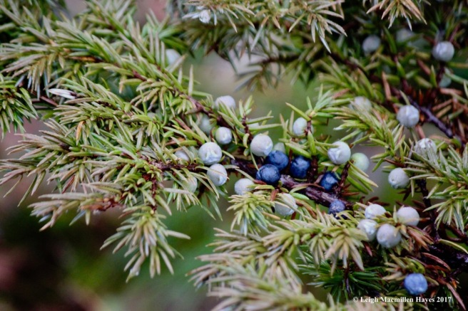 h-juniper berries