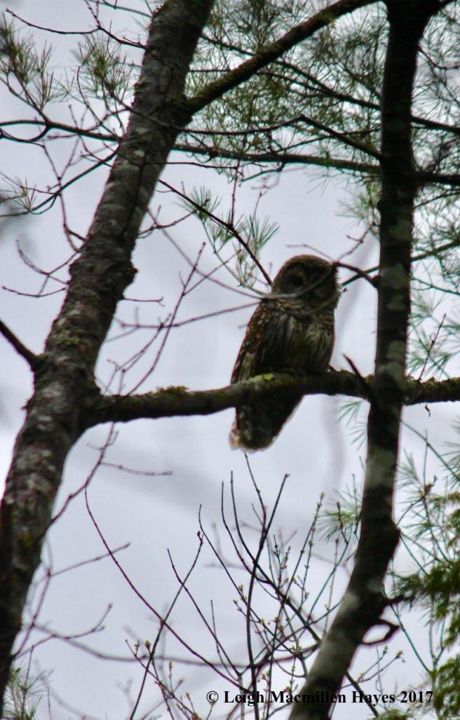 h-owl 1