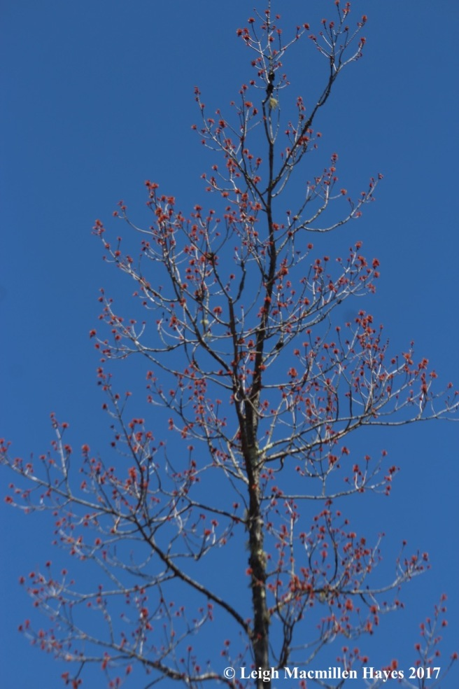h-red maple in swamp