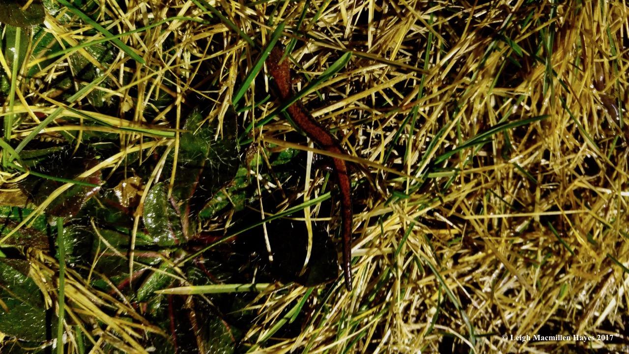 h-redback salamander (1)