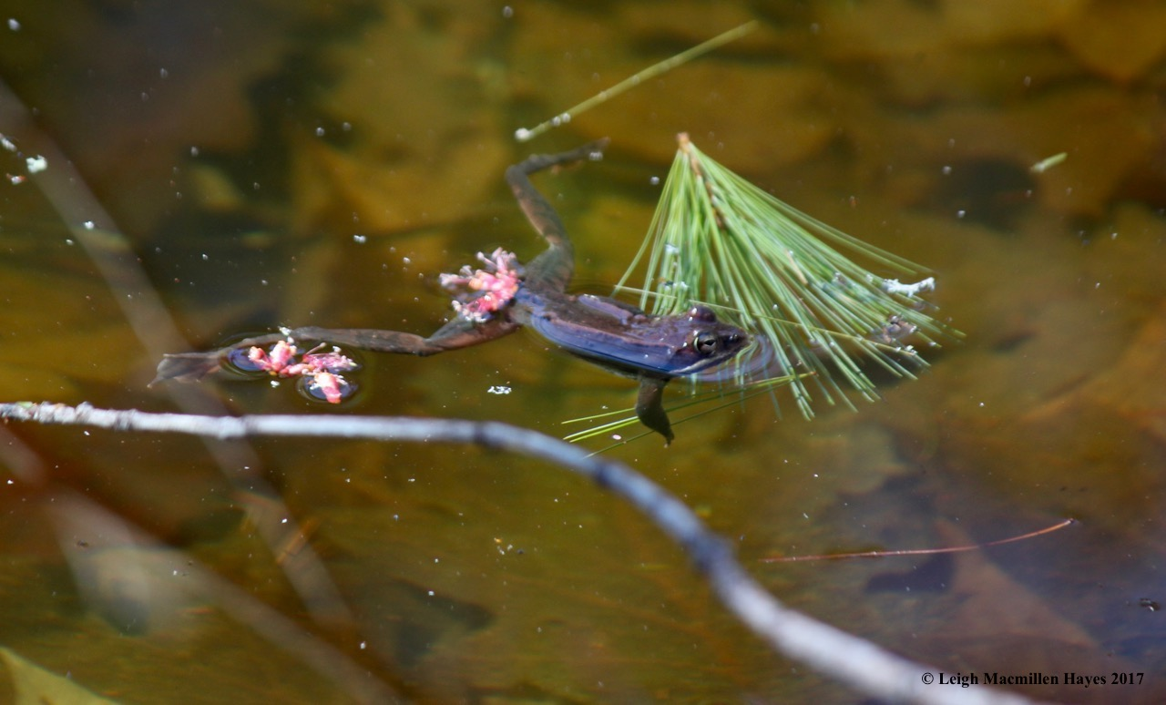 h-wood frog 1