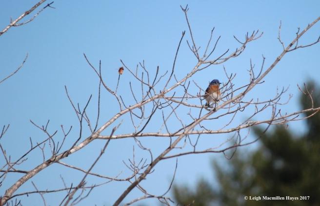 n-bluebird