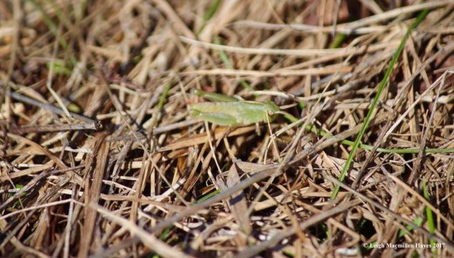 n-grasshopper 1