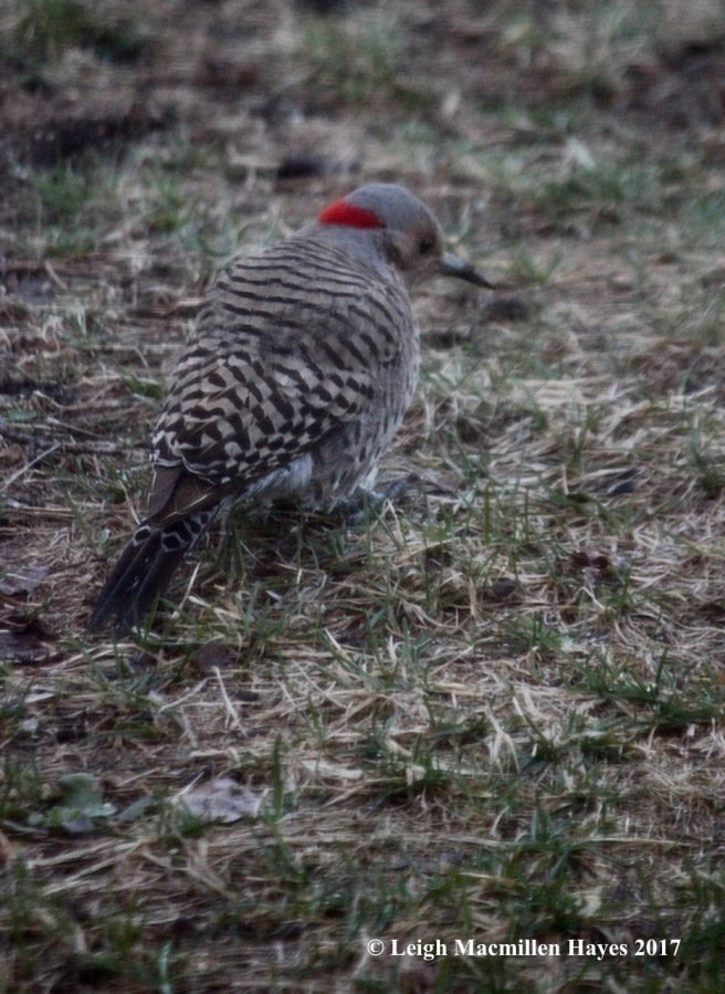 n-Northern Flicker