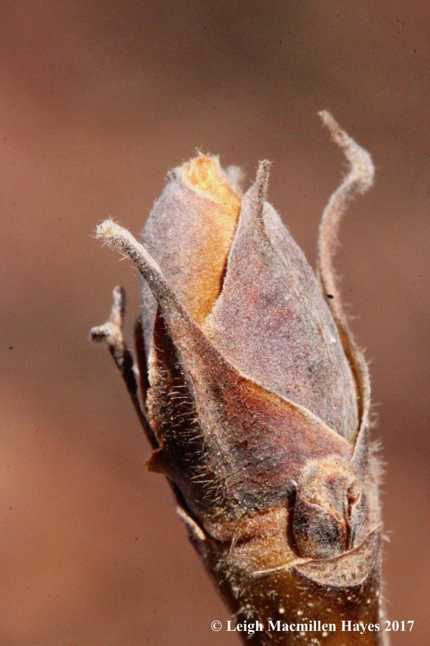 n-shagbark bud hairy 1