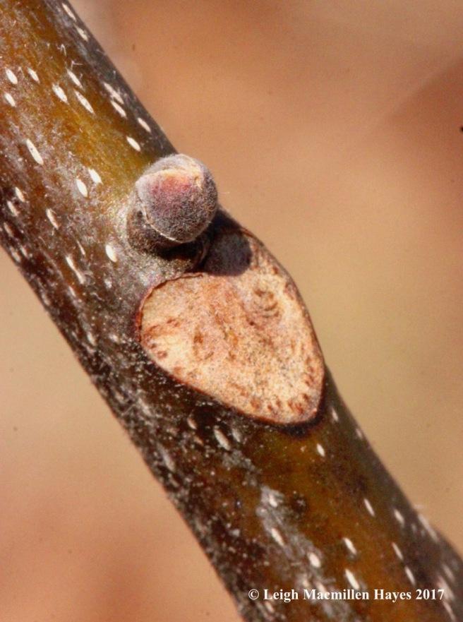 n-shagbark leaf scar1