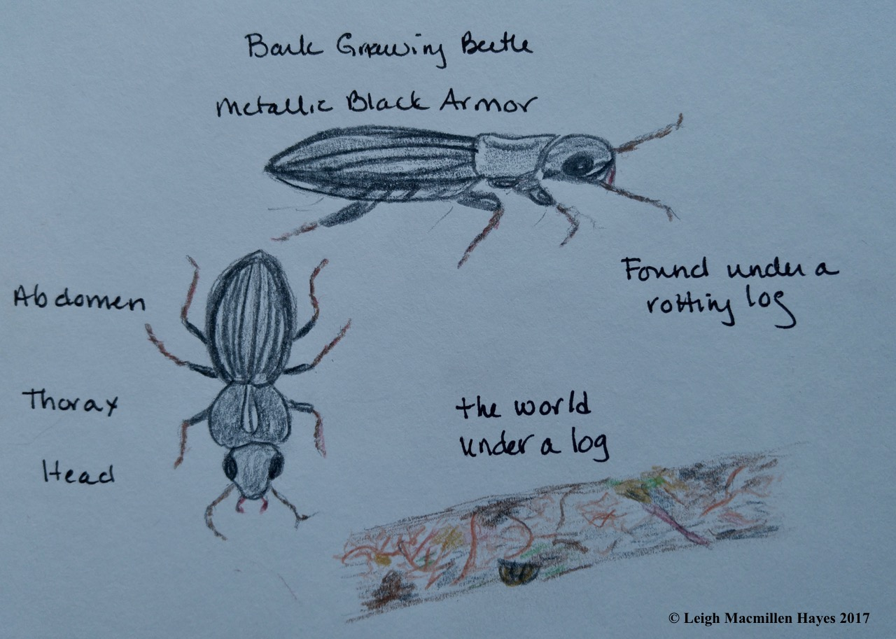 p-bark beetles 1 (1)
