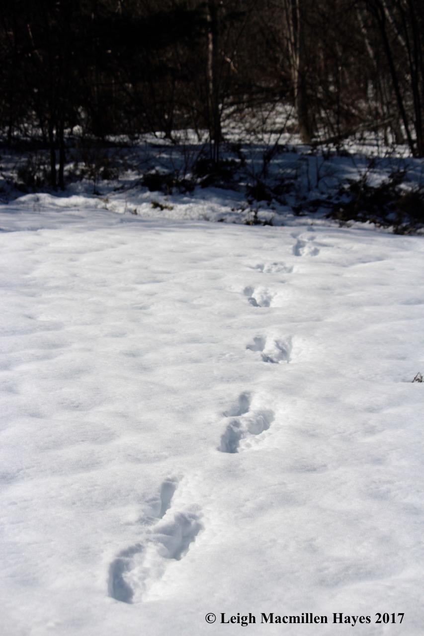 p-deer tracks
