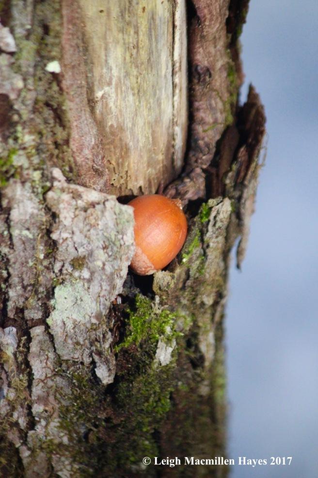 p-hidden acorn
