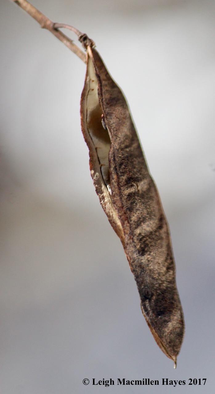 p-locust legume-like seed pod