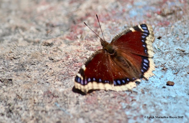 p-mourning cloak 1