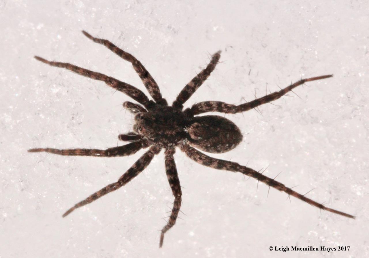p-spider