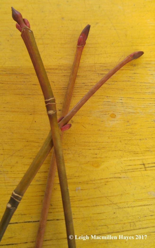 t1-striped maple twigs (1)