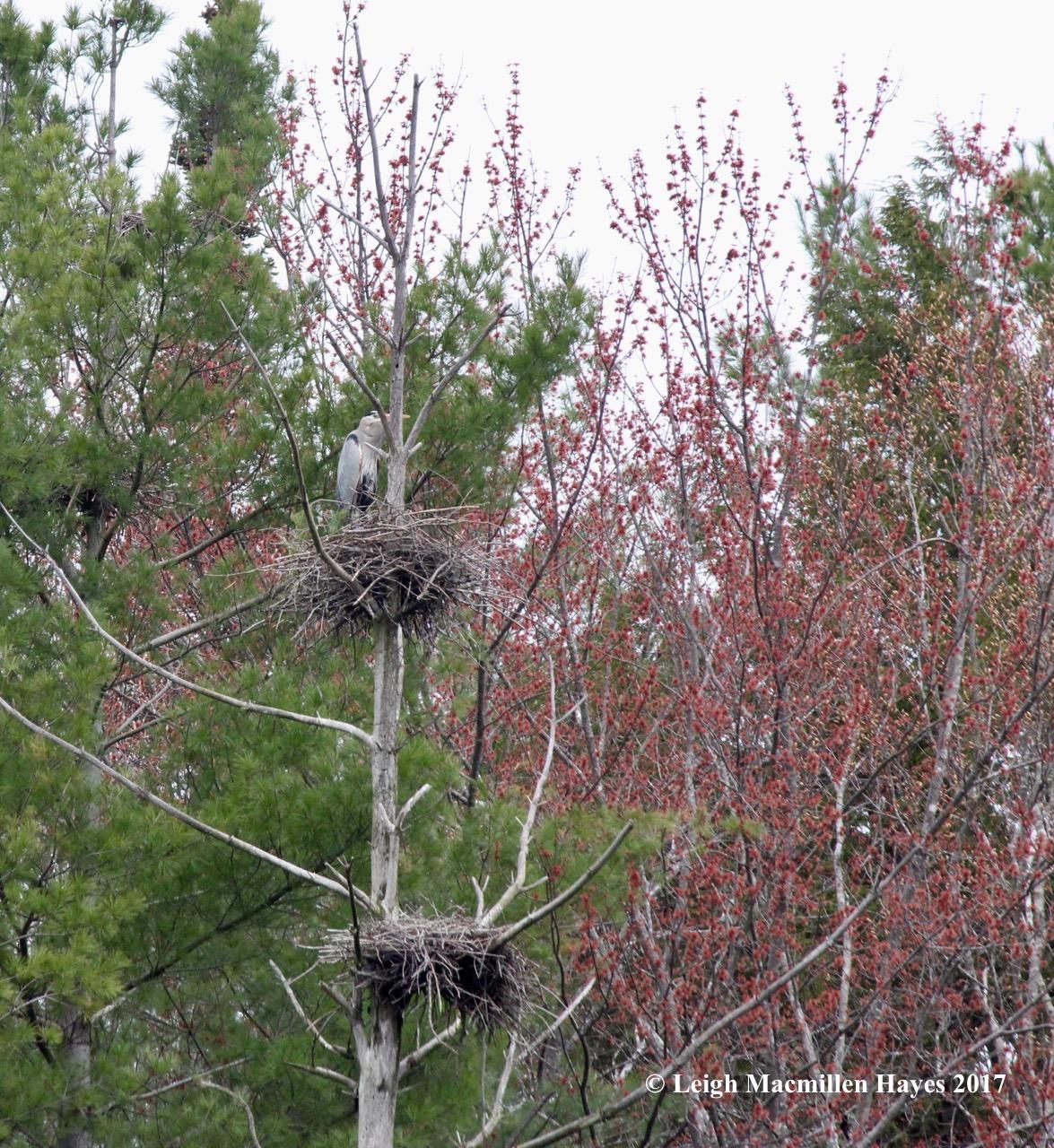 w-heron on nest