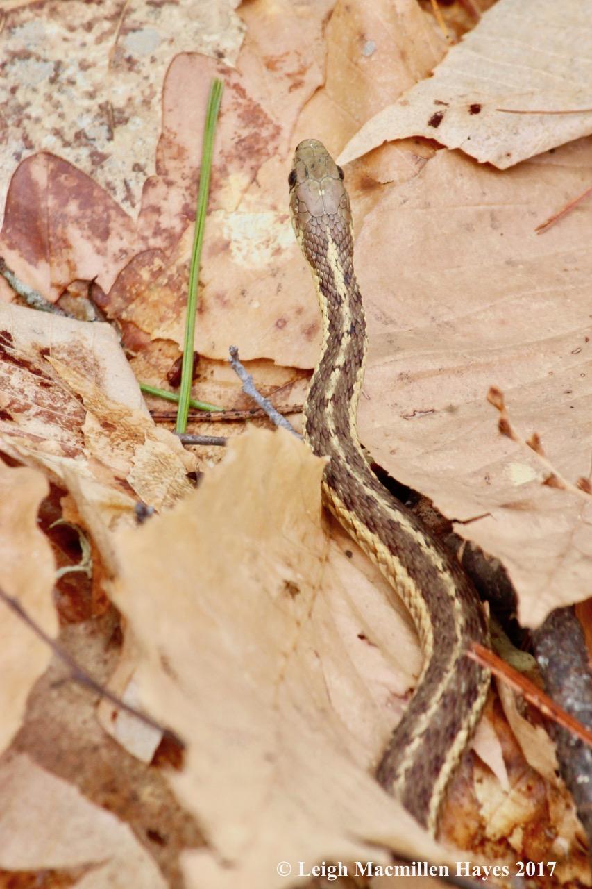 w-snake 1a