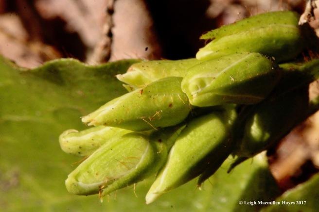 w-trailing arbutus buds