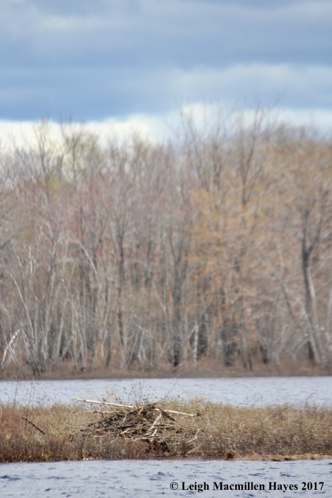 b-beaver lodge