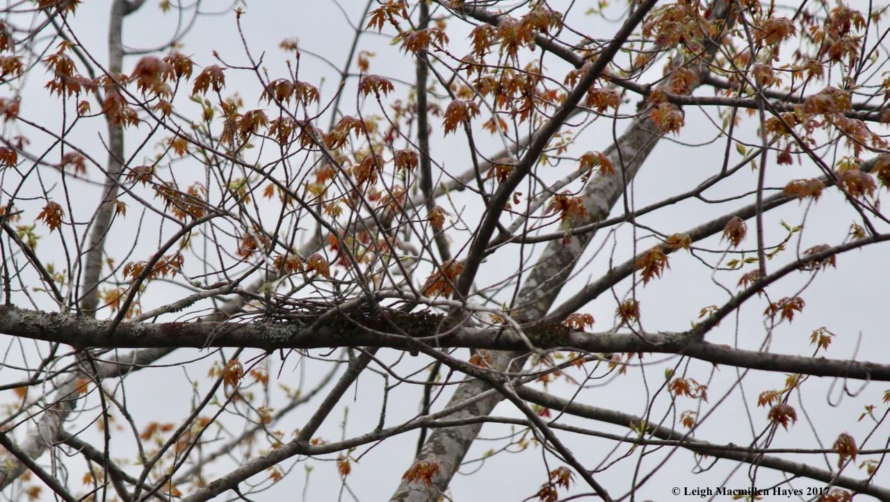 b-cuckoo nest remnants
