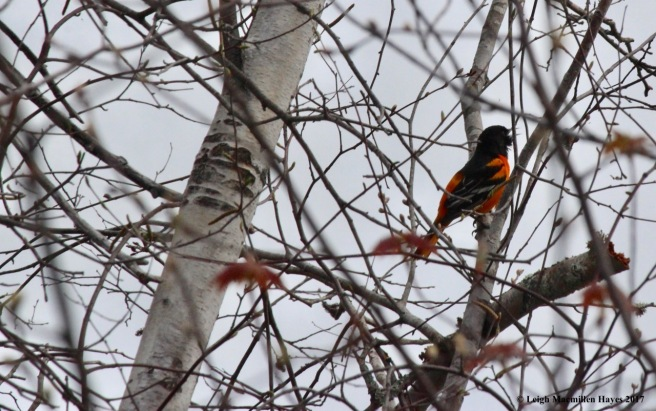 b-oriole singing