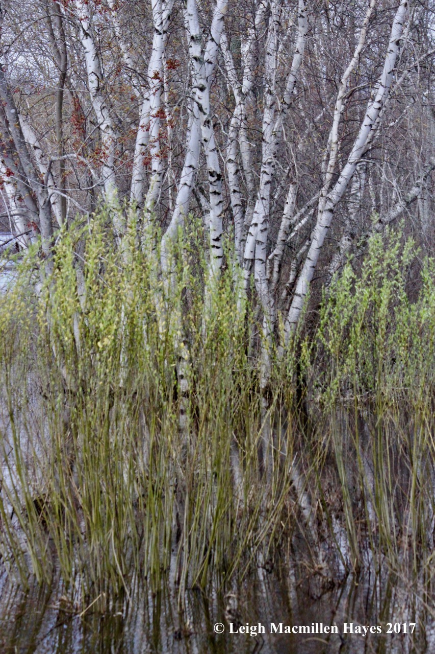 b-willows and birches
