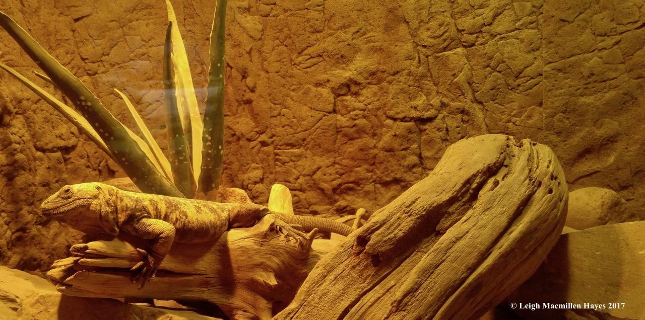 c-lizard 1