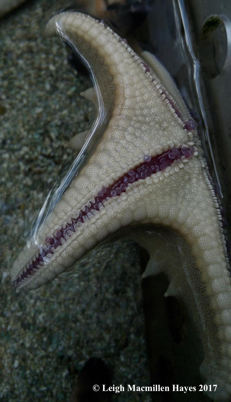 c-starfish 2