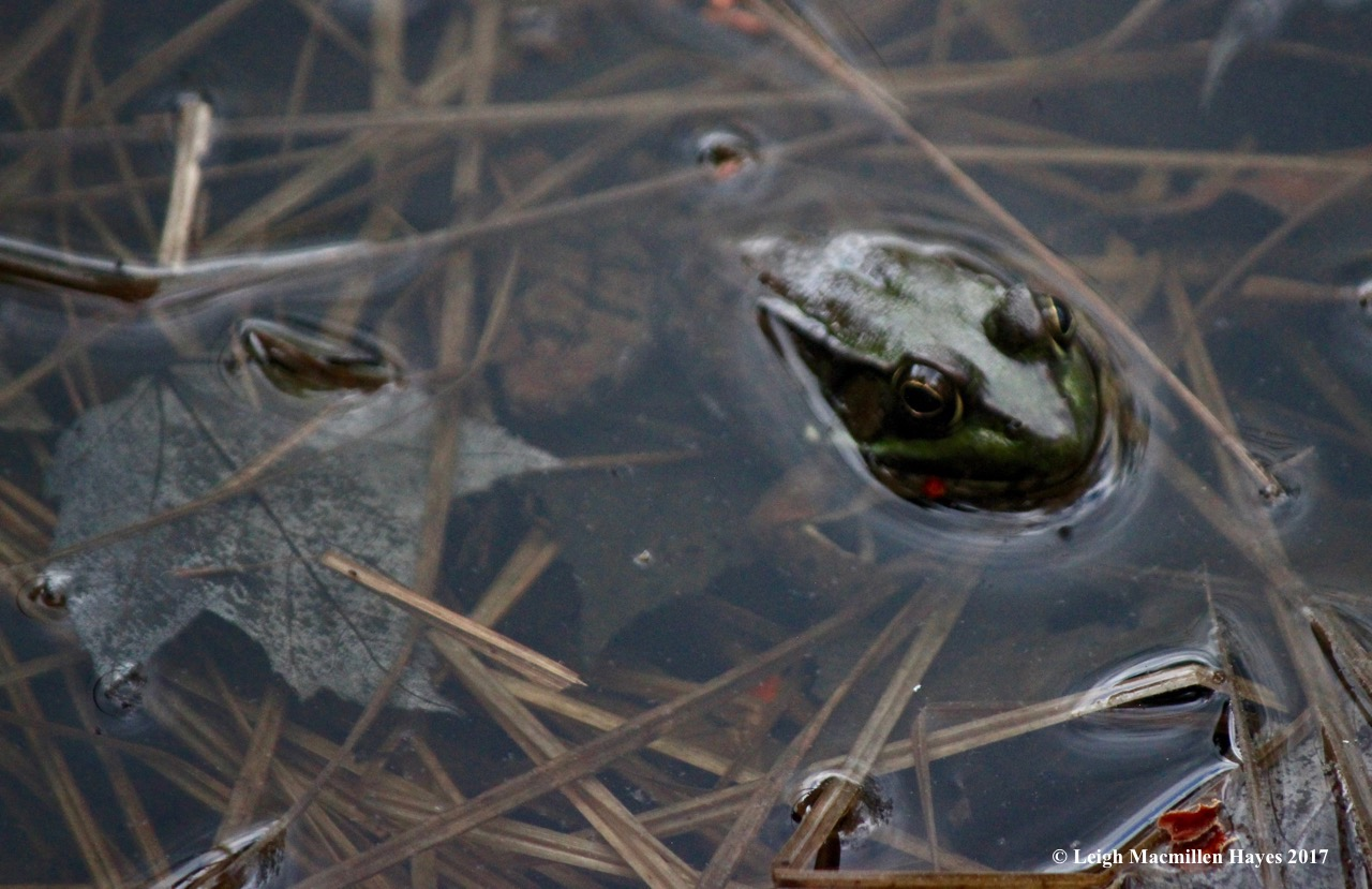 h-green frog 2
