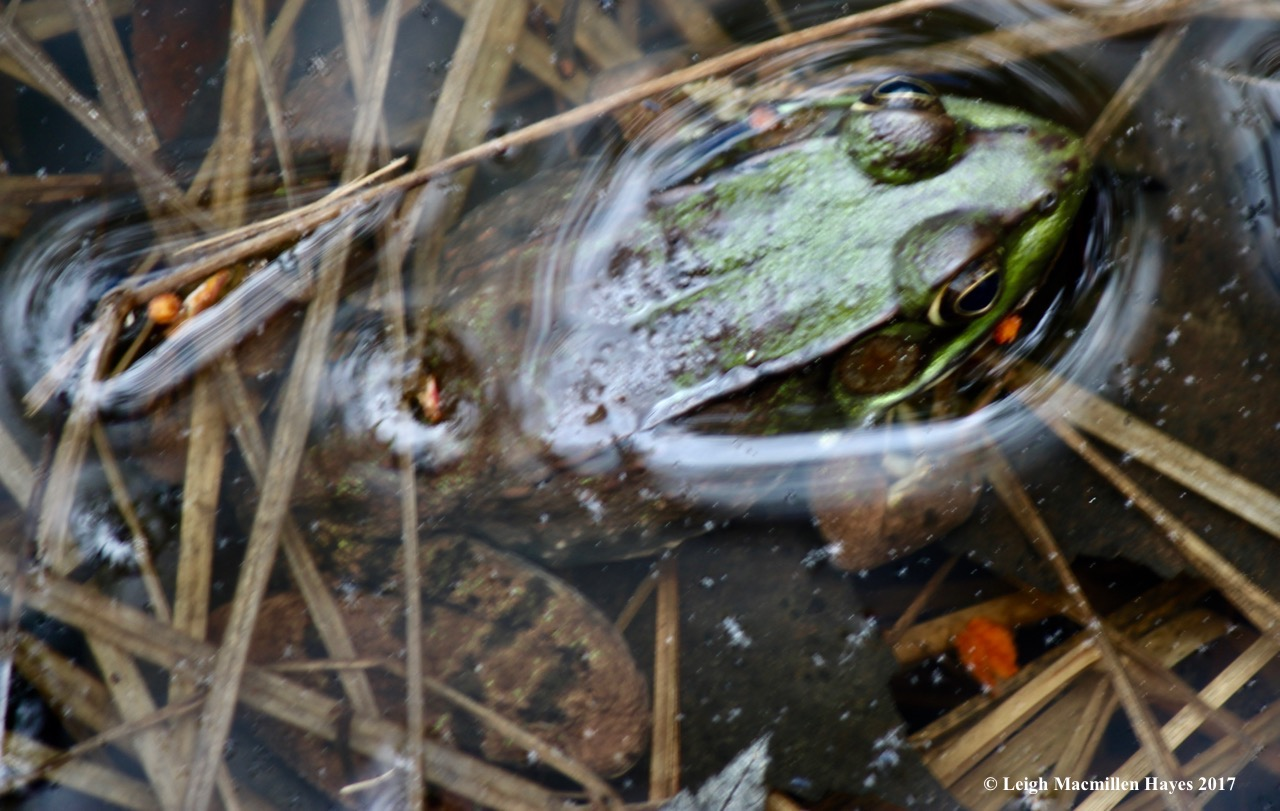 h-green frog