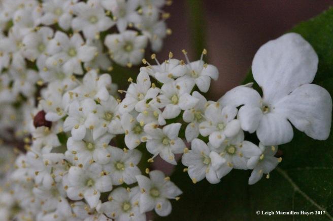 h-hobblebush flowers 1