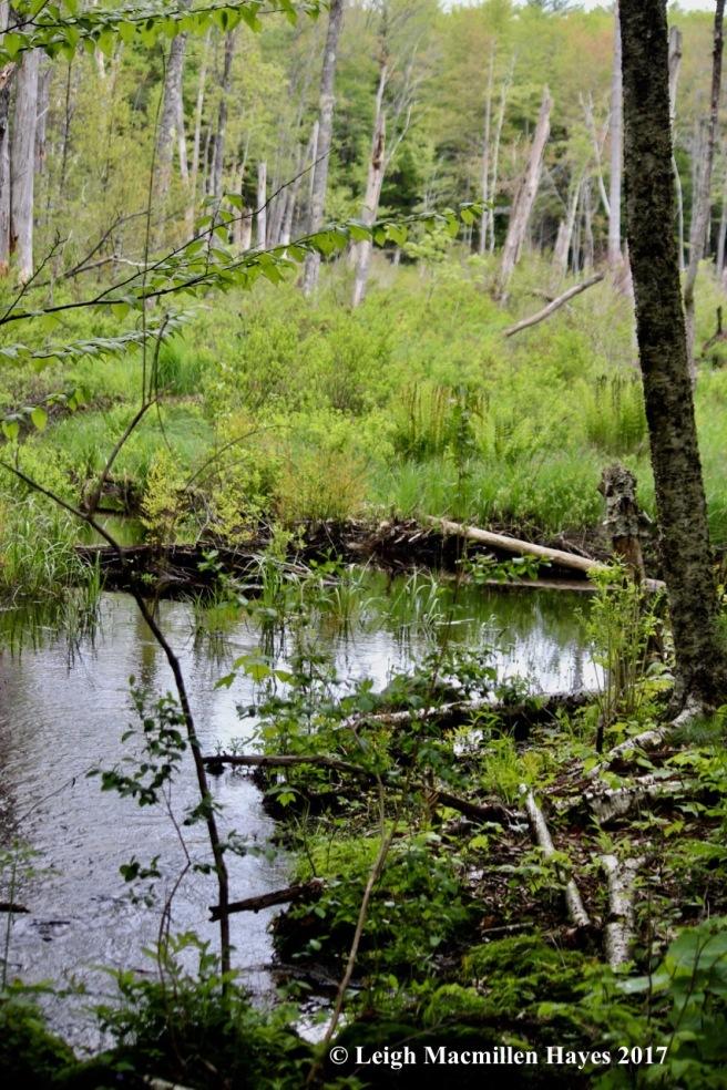 p-beaver pond view