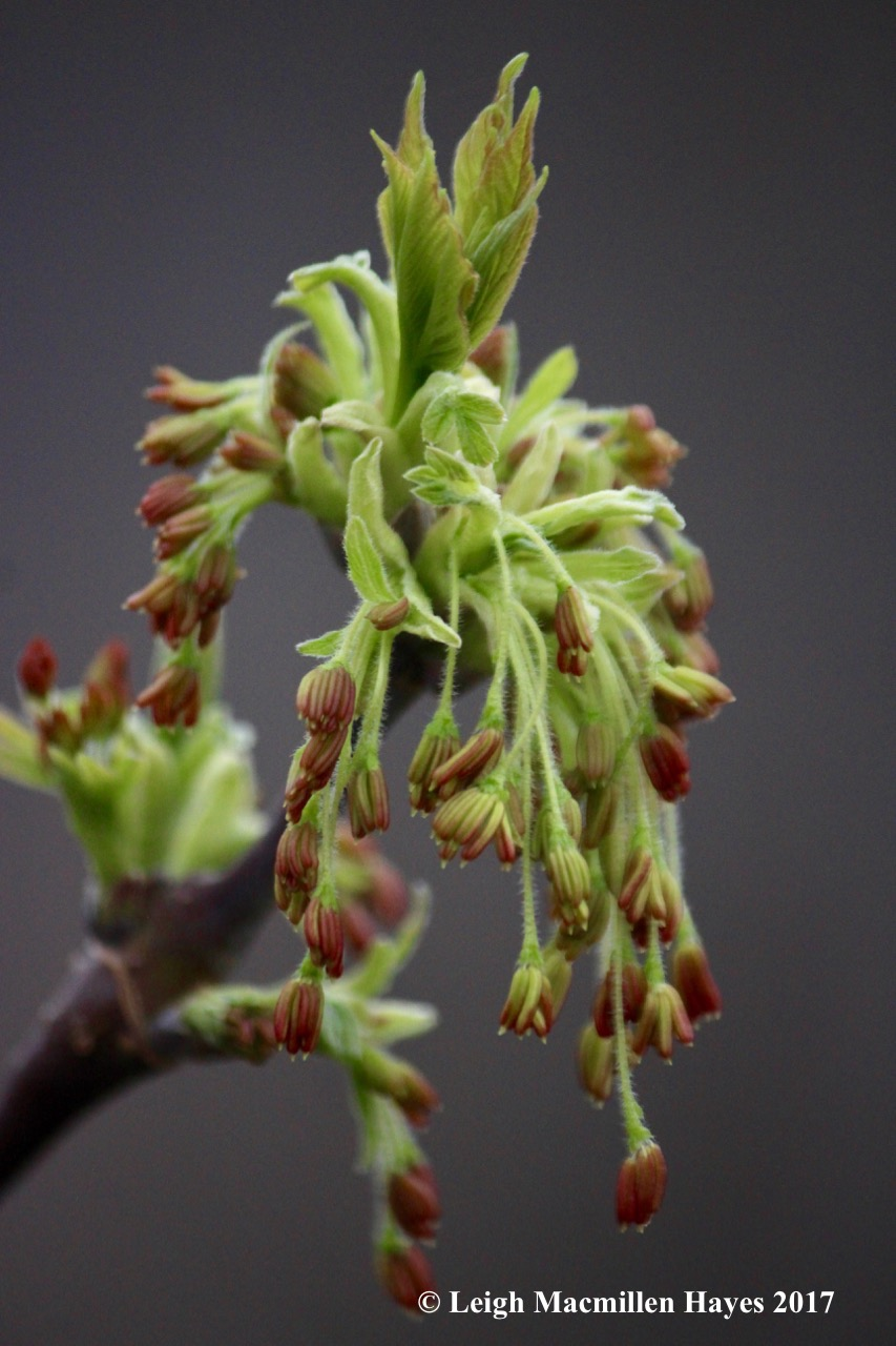 p-box elder flowers