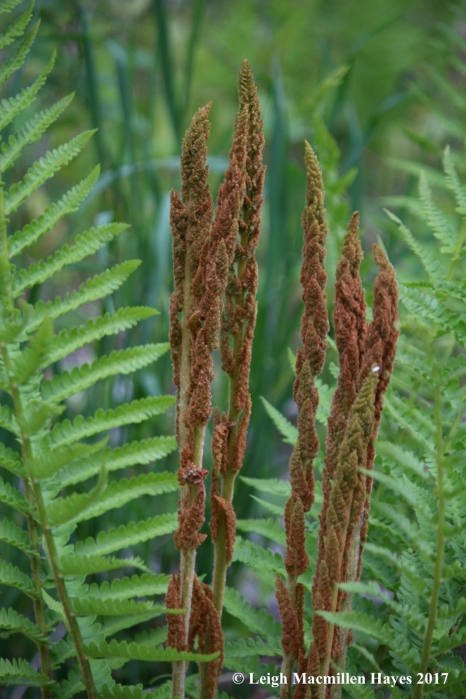 p-cinnamon fern fertile frond