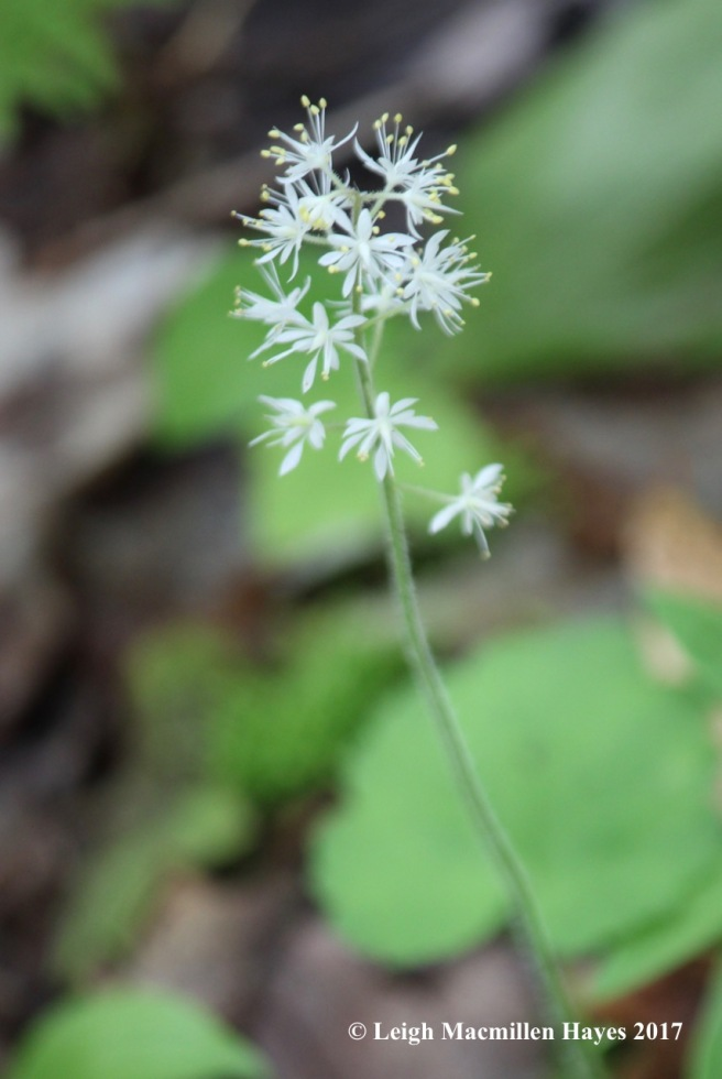 p-foamflower 1
