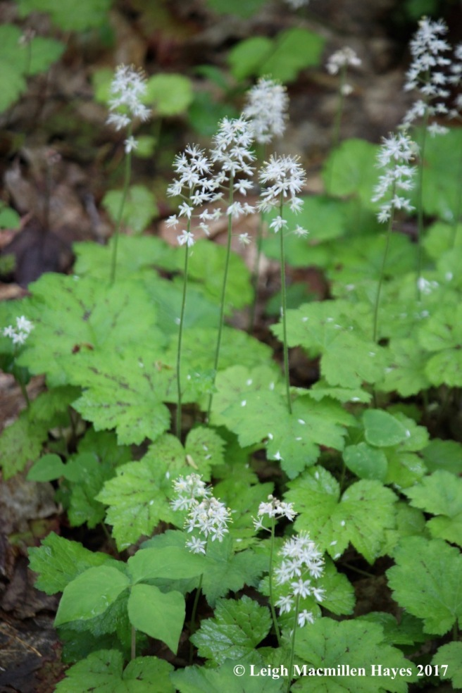 p-foamflower carpet