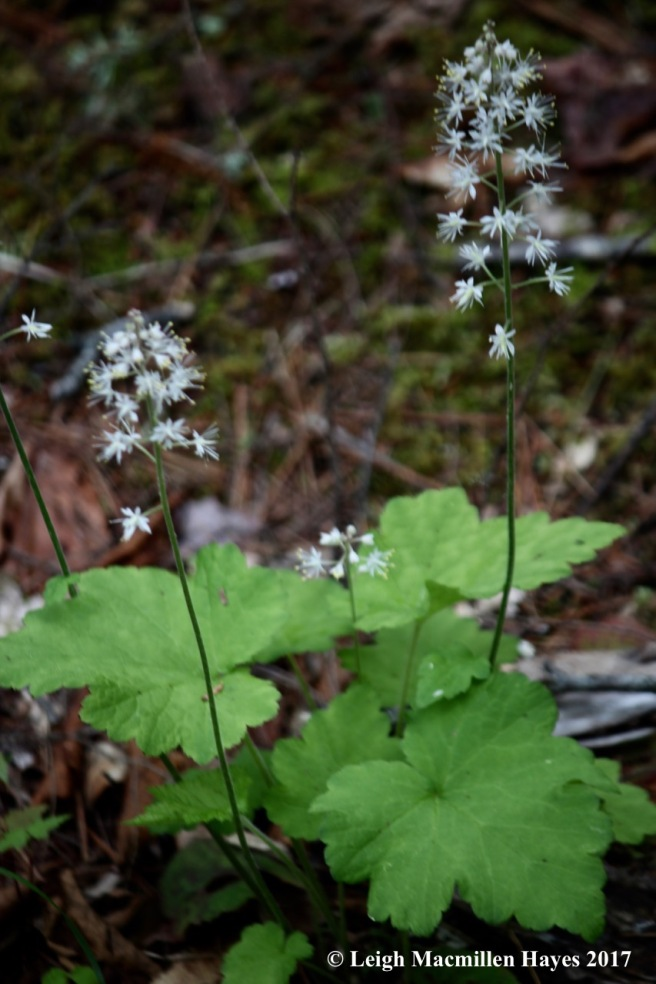 p-foamflowers