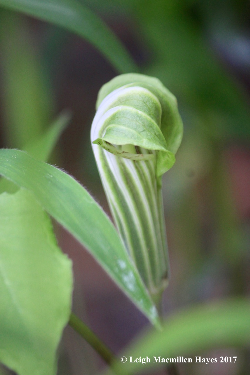 p-jack-in-the-pulpit 2