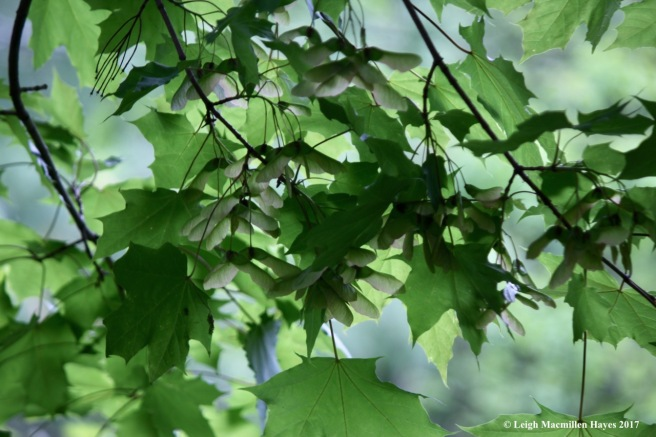 p-NOrway maple and samaras