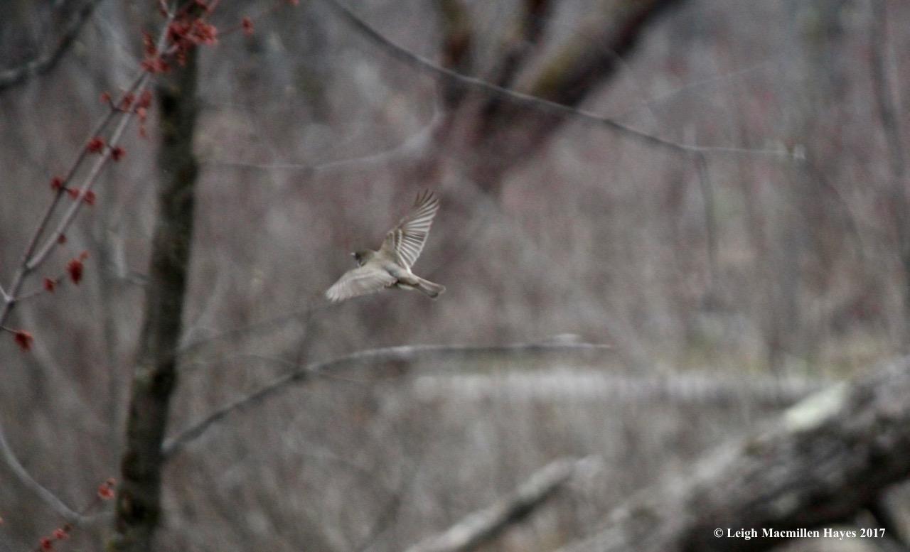 p-phoebee flying