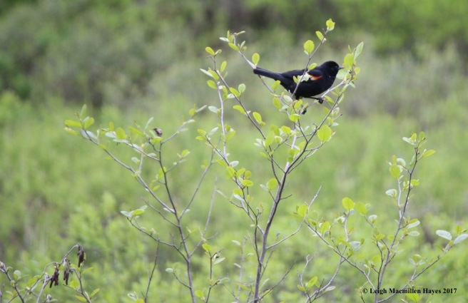p-red-winged blackbird