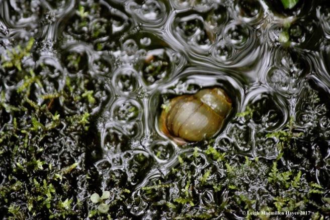 p-snail