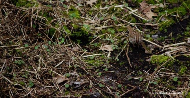 p-song sparrow 1